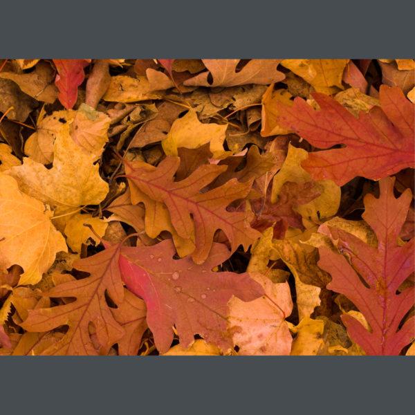 Oak-Leaves-sfw