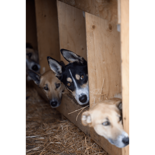 Beargrease-Sled-Dogs-sfw-min