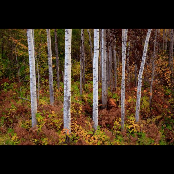 Birch-Trees-sfw-min